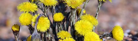 Magickal Correspondences for Coltsfoot