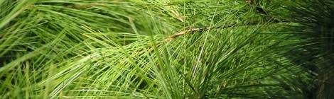 Soothing healing Pine