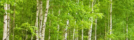 Magickal Correspondences for Birch