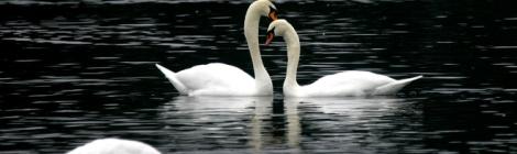 Beltane:Swans