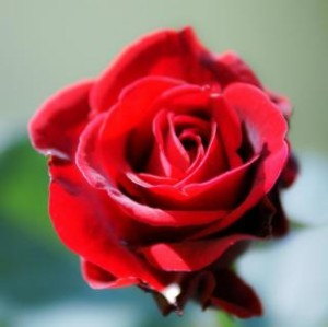 red-rose-fresh-bloom