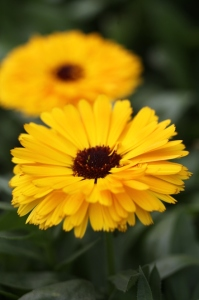Beltane Marigold Custard