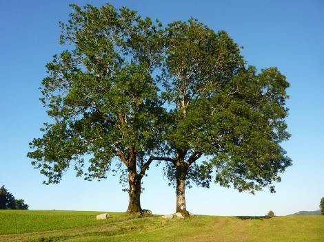 The Ash Tree - Yggdrasil