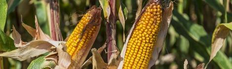 Corn and Corn Dolly Symbols of Lammas