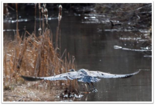 Heron flying pond Tim Price