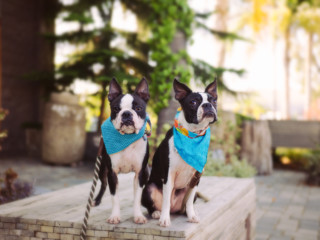 Pet's Place: Boston Terriers Zoom Around Their San Diego Home