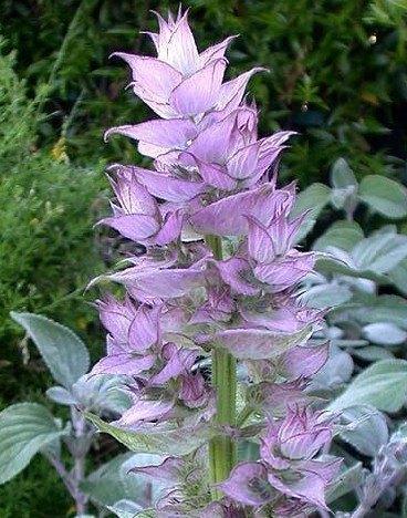 Medicinal Herbs: Clary Sage
