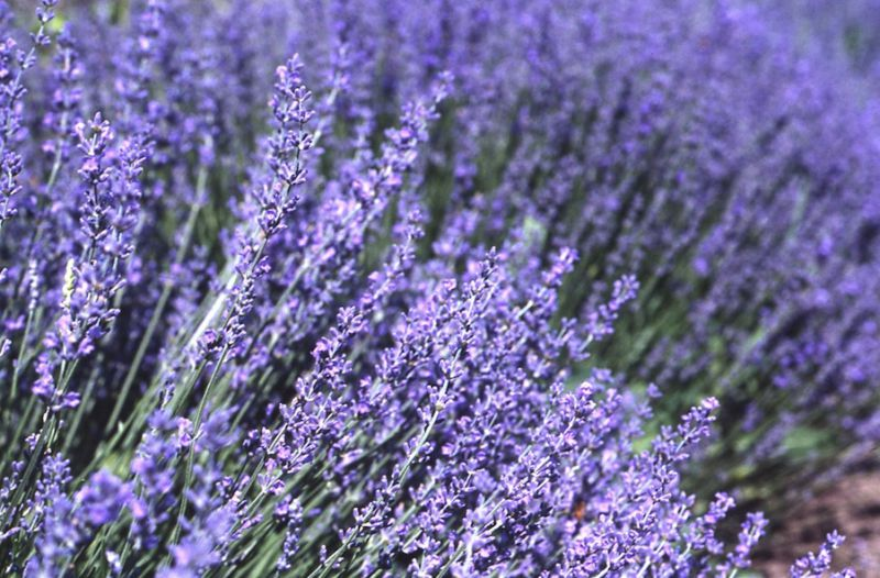 Medicine Woman's Treasure Chest – Aromatherapy – The very versatile Lavender
