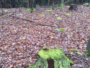 Line of stumps in January - strong telluric energy.