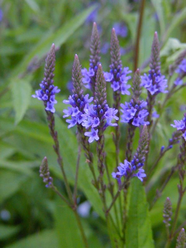 A Midsummer Herb: Vervain — Good Witches Homestead