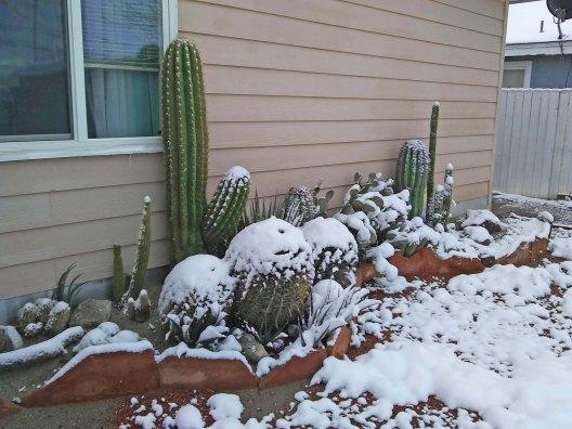 Cactus in snow February 5 2020