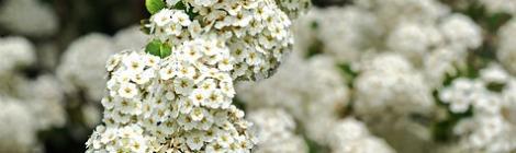 Beltane Herb/Plant~~Hawthorn