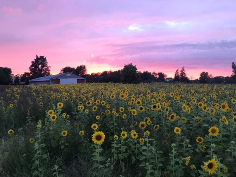 Sunflower Sunset — Michigan in Pictures